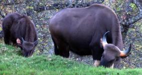 Bison around Kodai