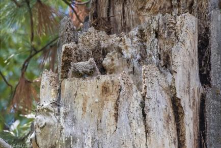 Great-horned Owl fledgling